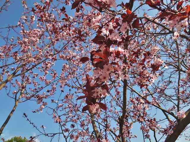 プルーンの花を見に_b0064411_05275421.jpg