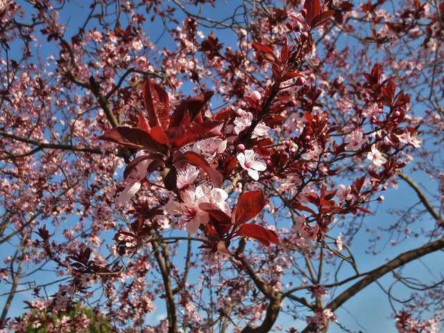 プルーンの花を見に_b0064411_05275450.jpg