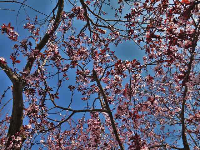 プルーンの花を見に_b0064411_05275491.jpg