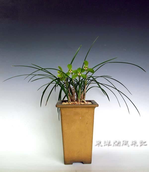 小型西神梅・中国春蘭                   No.525_f0178953_00511232.jpg