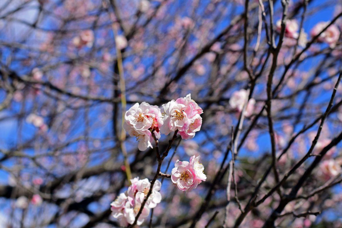 今年も森林公園で観梅_c0252688_20572806.jpg