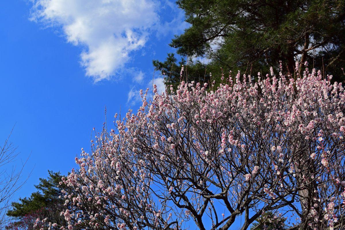 今年も森林公園で観梅_c0252688_20574222.jpg