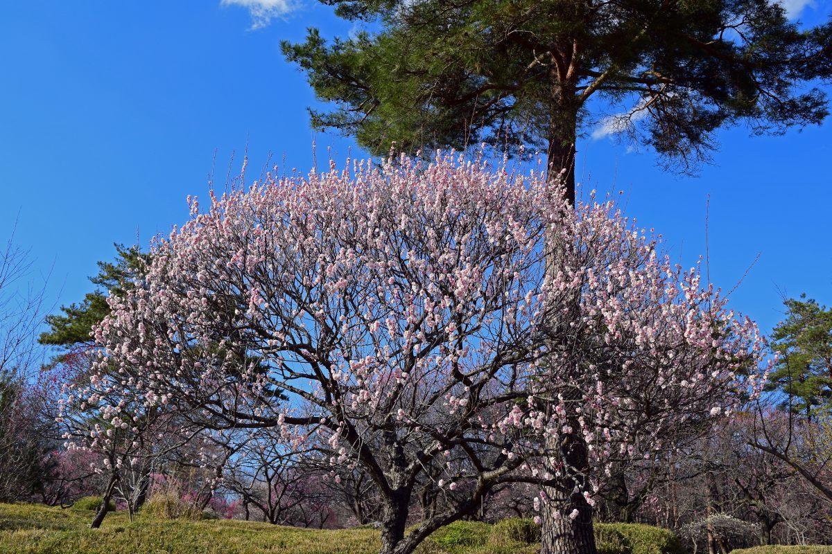 今年も森林公園で観梅_c0252688_20580591.jpg