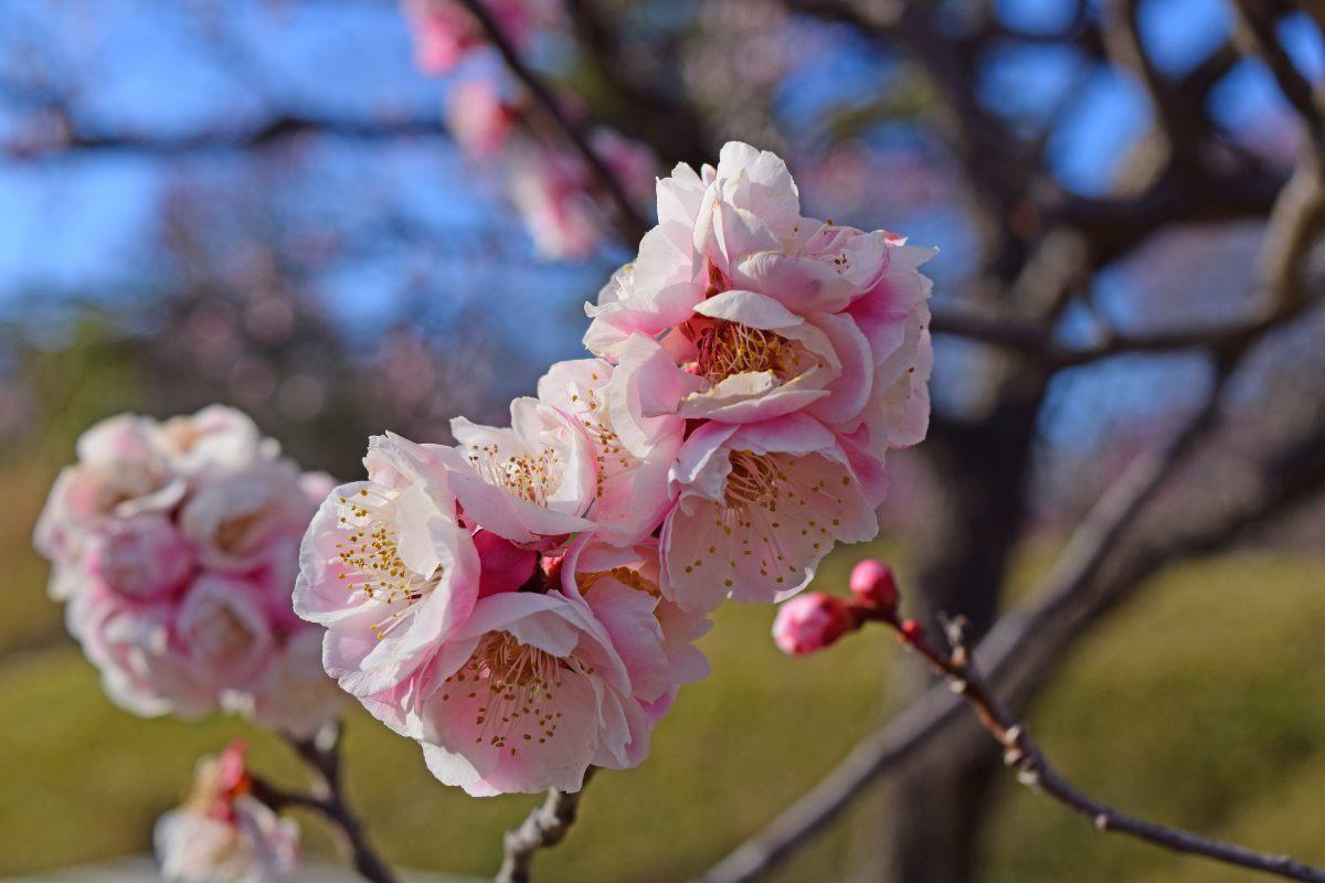 今年も森林公園で観梅_c0252688_20583286.jpg