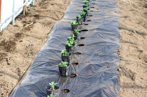 スナップエンドウを植える。_c0110869_1151581.jpg