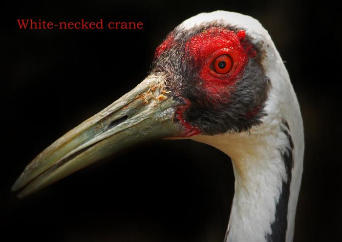 マナヅル:White-necked crane_b0249597_752179.jpg