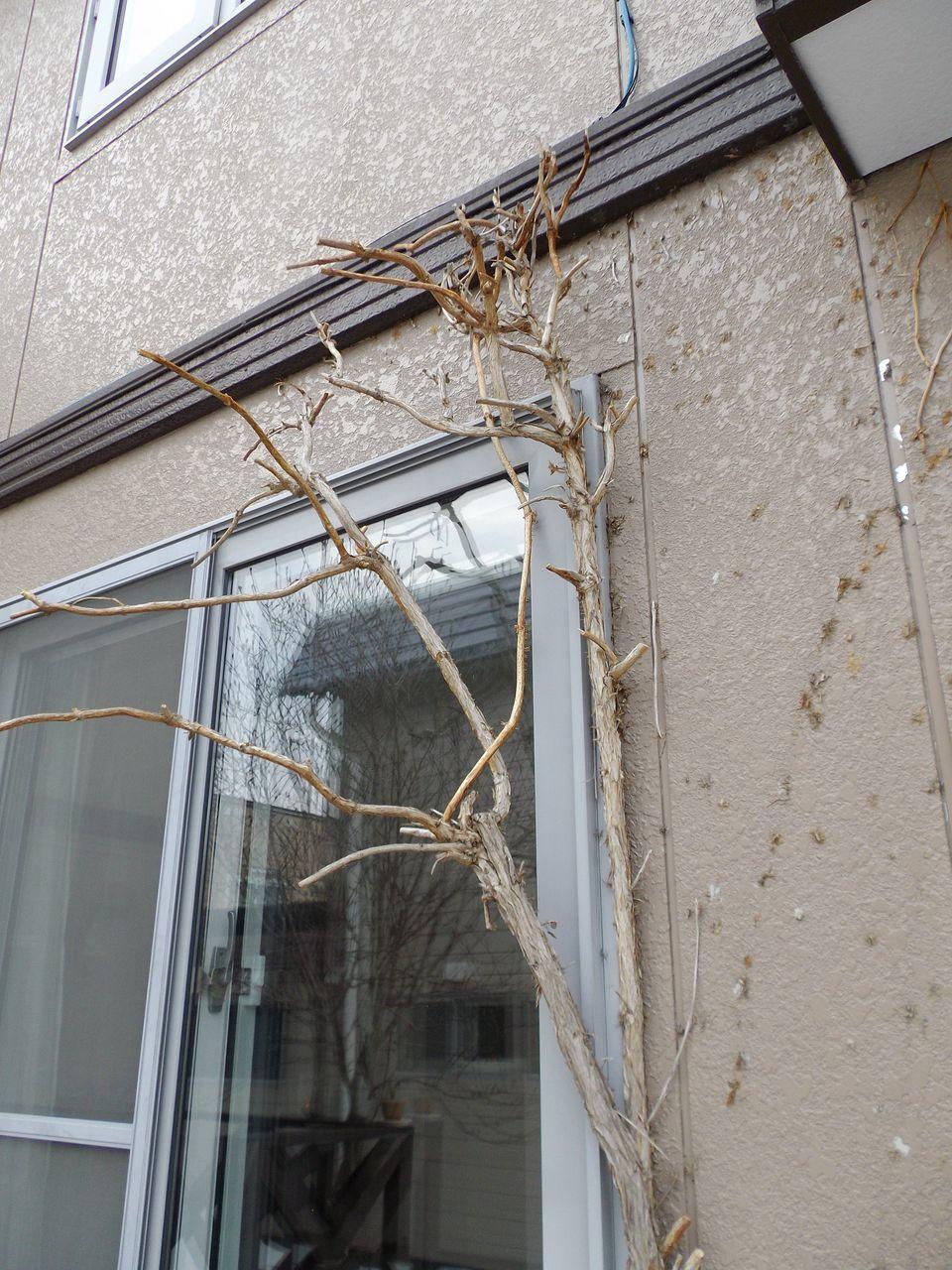 庭の植物も動き出した_c0025115_21342427.jpg