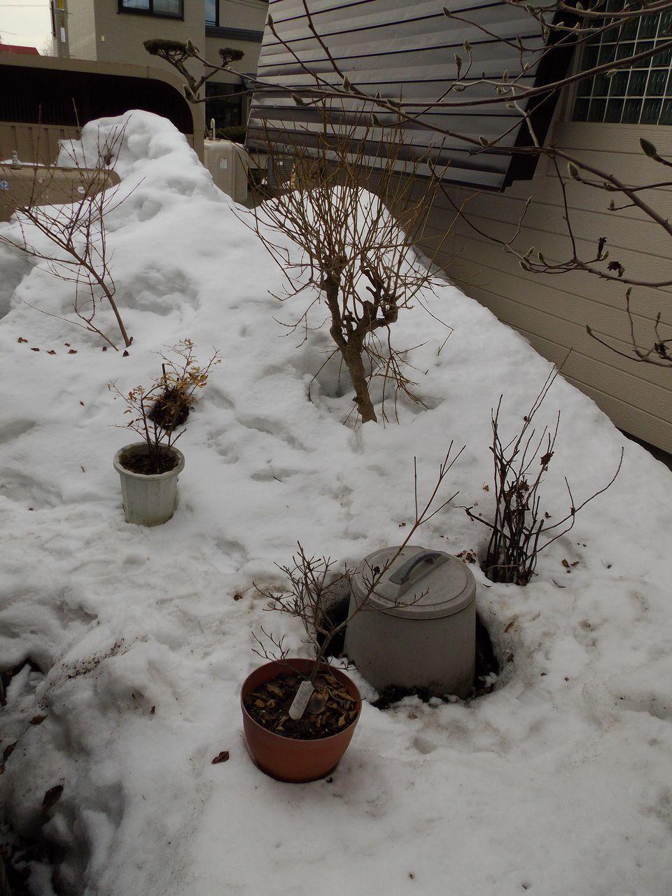 庭の植物も動き出した_c0025115_21383860.jpg