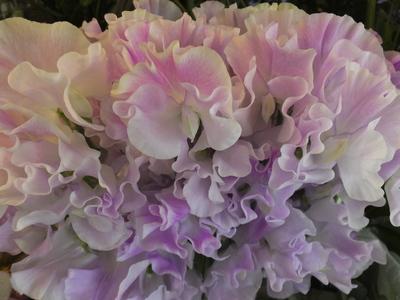 オークリーフ(シデコブシの香り)_f0049672_16213517.jpg