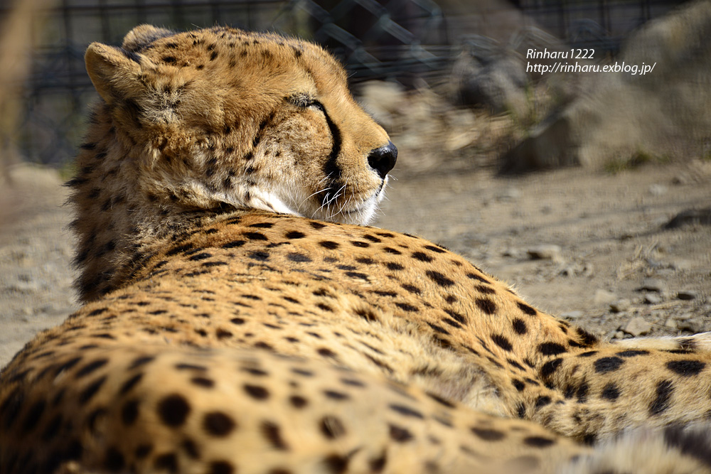 2015.2.22 群馬サファリパーク☆チーター男子【Cheetah】_f0250322_21245763.jpg