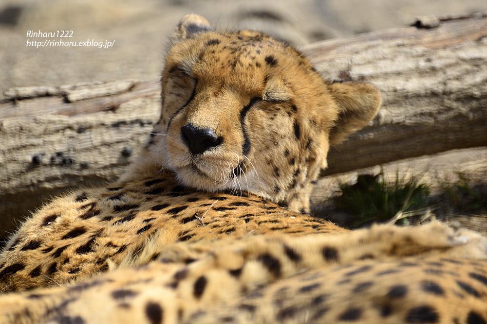 2015.2.22 群馬サファリパーク☆チーター男子【Cheetah】_f0250322_2125293.jpg