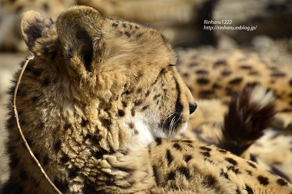2015.2.22 群馬サファリパーク☆チーター男子【Cheetah】_f0250322_2125616.jpg