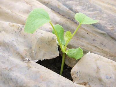 肥後グリーン 6月中旬の出荷に向け定植しました!!_a0254656_17203385.jpg