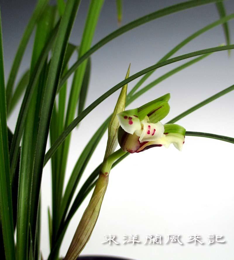 中国春蘭「雪月蝶」                     No.1484_d0103457_18054917.jpg