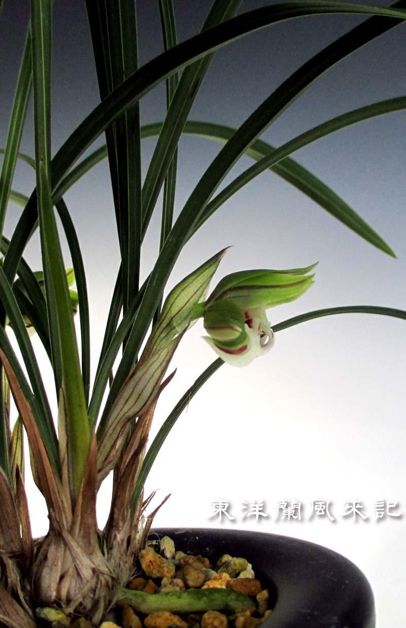 中国春蘭「雪月蝶」                     No.1484_d0103457_18080554.jpg