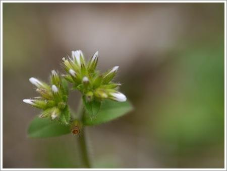 我が家は春でも花が少ないから、野草で我慢しましょう(*⌒∇⌒*)テヘ♪_b0175688_22480153.jpg