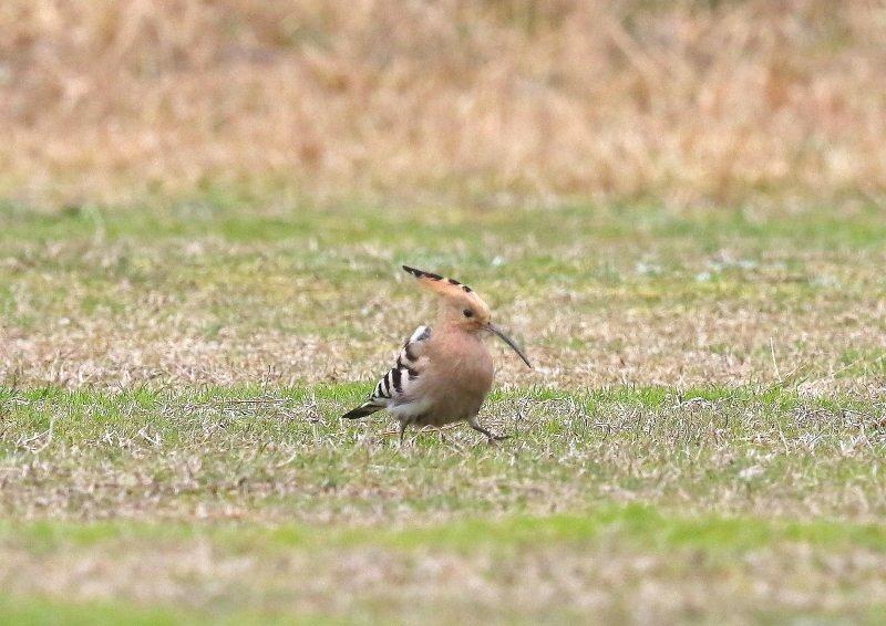 ヤツガシラは、少数が旅鳥もしくは冬鳥として渡来_b0346933_16341196.jpg