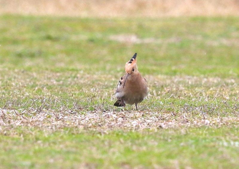 ヤツガシラは、少数が旅鳥もしくは冬鳥として渡来_b0346933_1634163.jpg