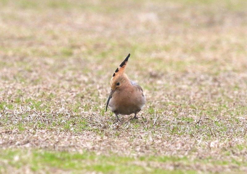 ヤツガシラは、少数が旅鳥もしくは冬鳥として渡来_b0346933_16342031.jpg
