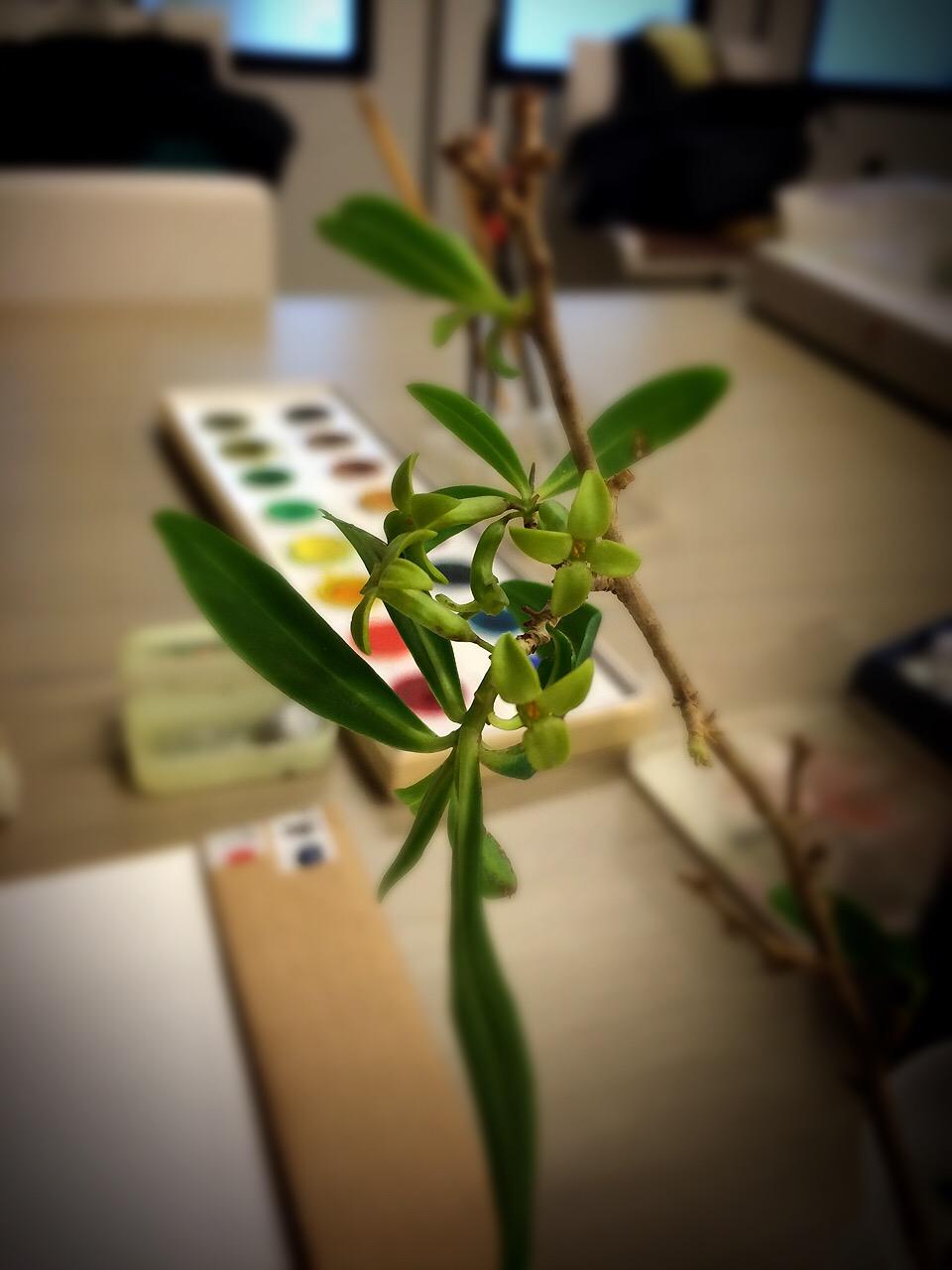 緑色の沈丁花_c0206645_17291864.jpg
