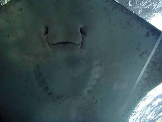 エイ    (新江の島水族館)_d0105967_12241352.jpg