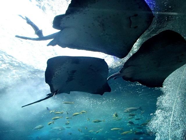 エイ    (新江の島水族館)_d0105967_12245017.jpg