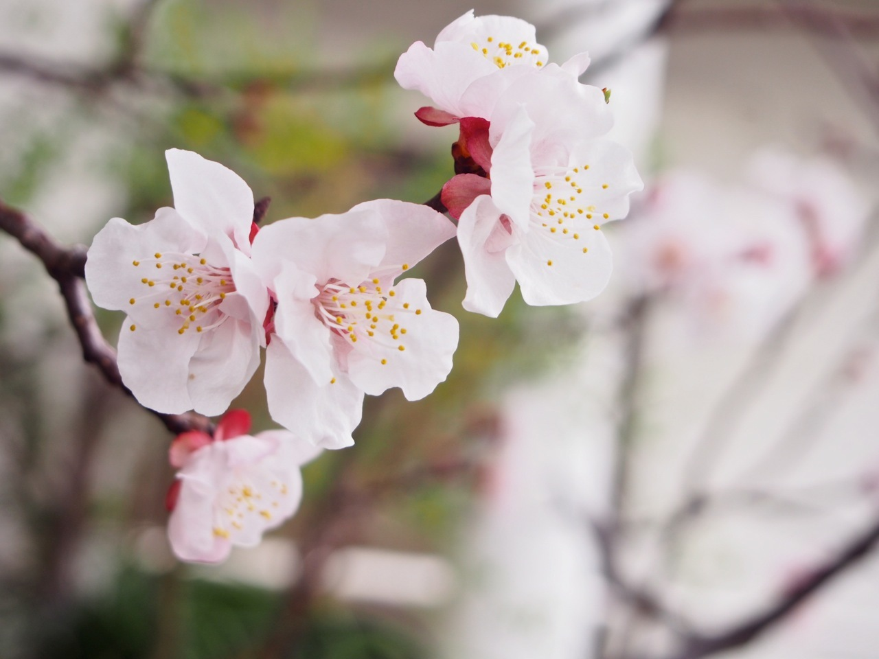 杏の花が咲いたよ(春の植物図鑑@ベランダ宇宙)_d0244370_17301394.jpg