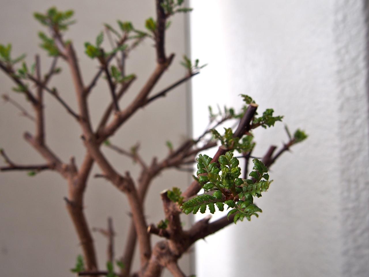 杏の花が咲いたよ(春の植物図鑑@ベランダ宇宙)_d0244370_17392999.jpg