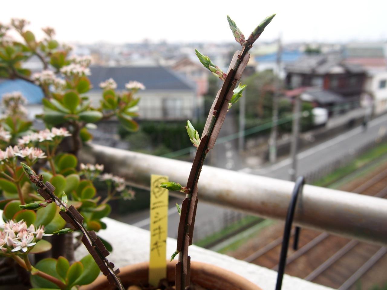 杏の花が咲いたよ(春の植物図鑑@ベランダ宇宙)_d0244370_17395485.jpg