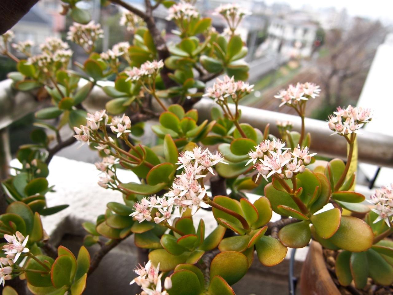 杏の花が咲いたよ(春の植物図鑑@ベランダ宇宙)_d0244370_17401620.jpg