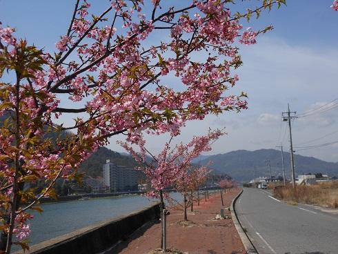 河津桜、かわいらしく咲きほこり_e0175370_9491962.jpg