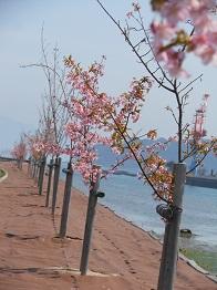 河津桜、かわいらしく咲きほこり_e0175370_9501913.jpg