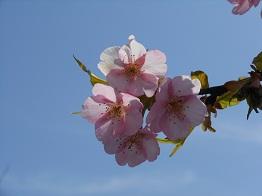 河津桜、かわいらしく咲きほこり_e0175370_9512439.jpg