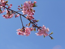 河津桜、かわいらしく咲きほこり_e0175370_95137.jpg
