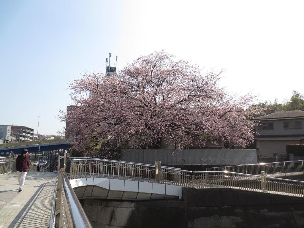 桜咲く_c0310571_16133575.jpg
