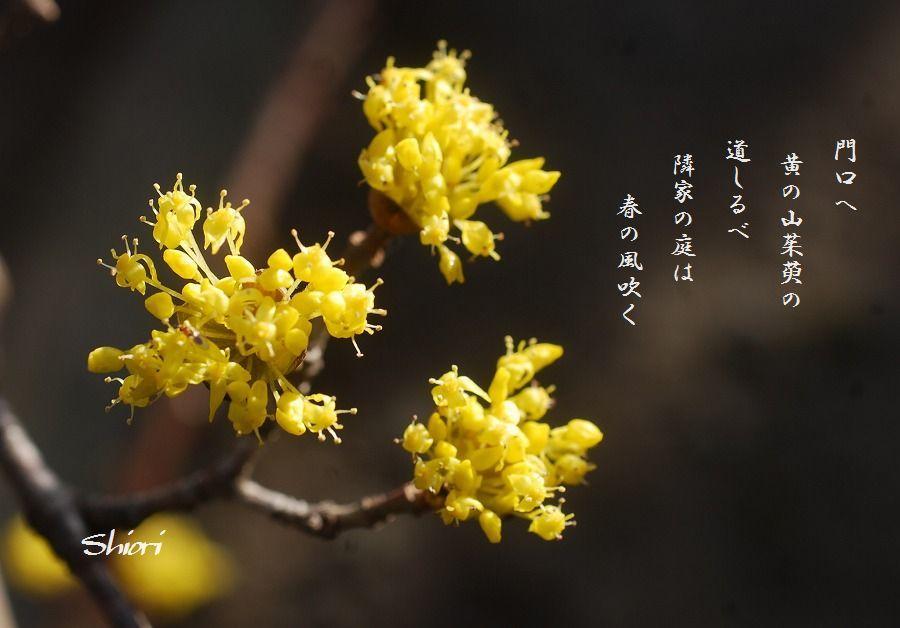 山茱萸の花_c0187781_14525163.jpg