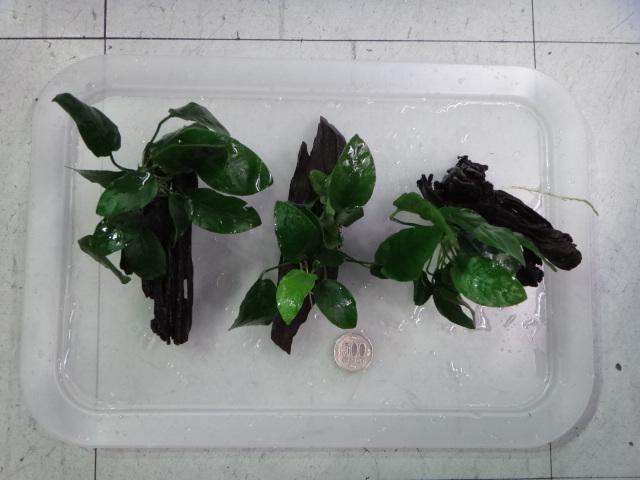 150319 熱帯魚・水草・観葉植物_f0189122_13272452.jpg