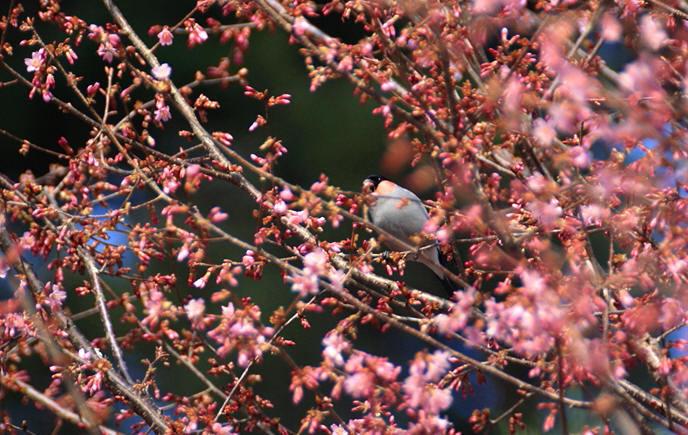 福島市渡利 「花見山花と野鳥」_d0106628_12050047.jpg