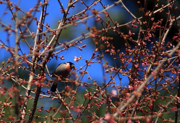 福島市渡利 「花見山花と野鳥」_d0106628_12050828.jpg