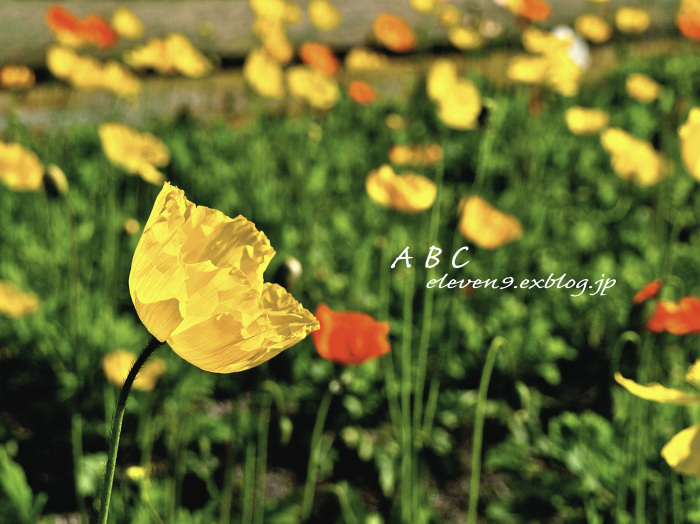 Poppy_f0315034_15262074.jpg
