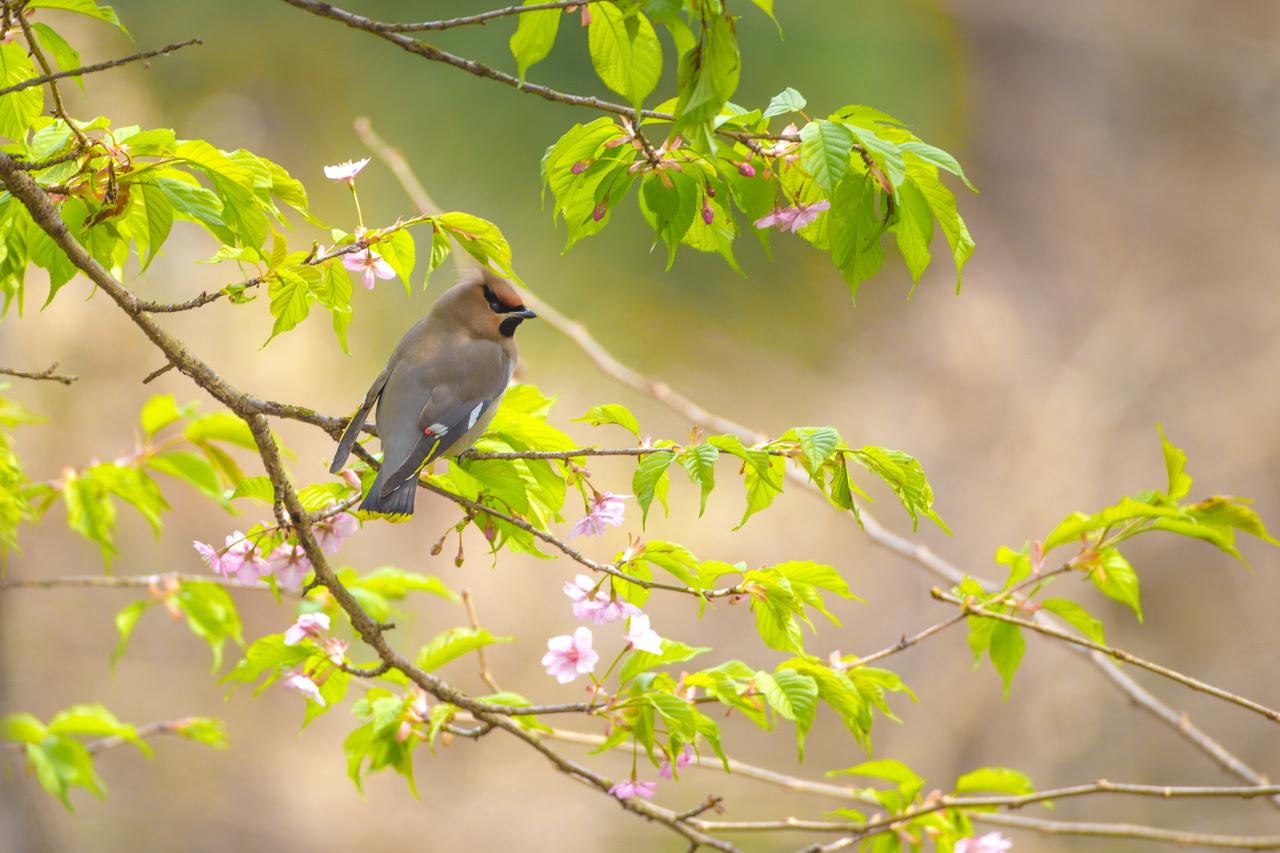 キレンジャクと緋寒桜_a0052080_06553469.jpg