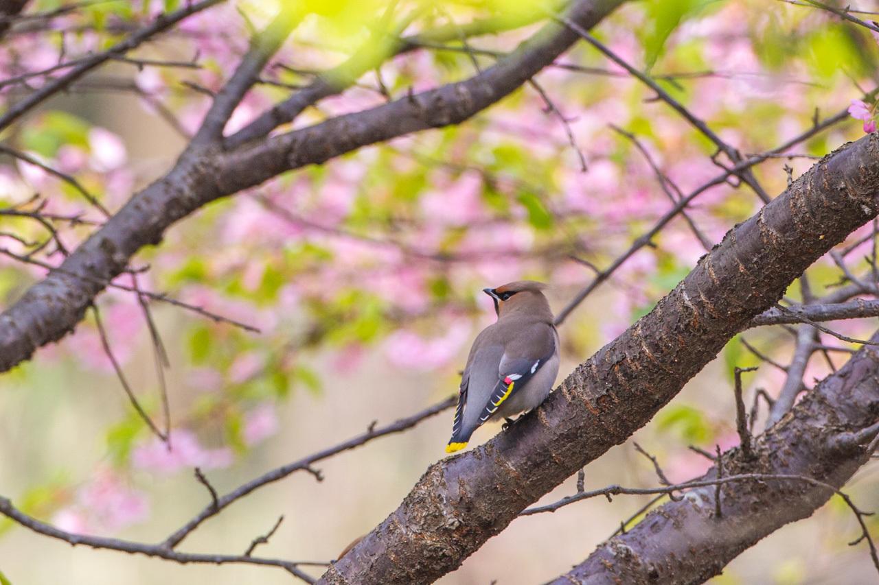キレンジャクと緋寒桜_a0052080_06560298.jpg