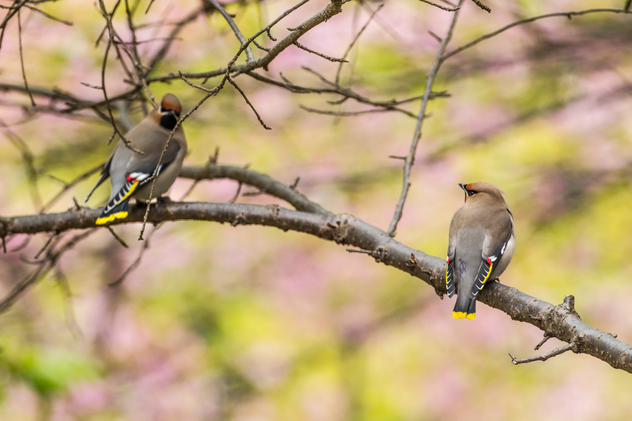 キレンジャクと緋寒桜_a0052080_06562456.jpg