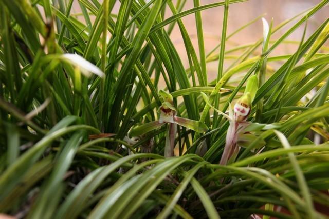 「春蘭」が 咲きました。_f0229190_21362577.jpg