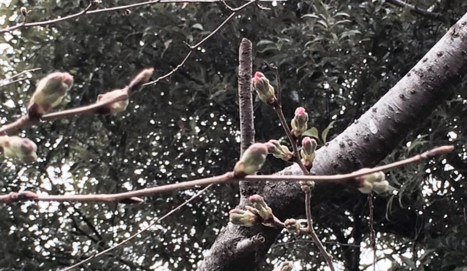 桜が…咲きたくて〜ウズ…ウズ(^_^)徒歩通勤の楽しみ!!_d0082356_10553595.jpg