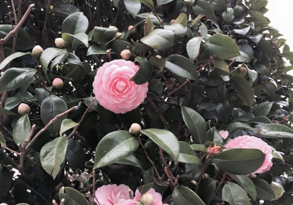 桜が…咲きたくて〜ウズ…ウズ(^_^)徒歩通勤の楽しみ!!_d0082356_10554813.jpg