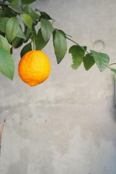レモンの木_a0292060_18540411.jpg