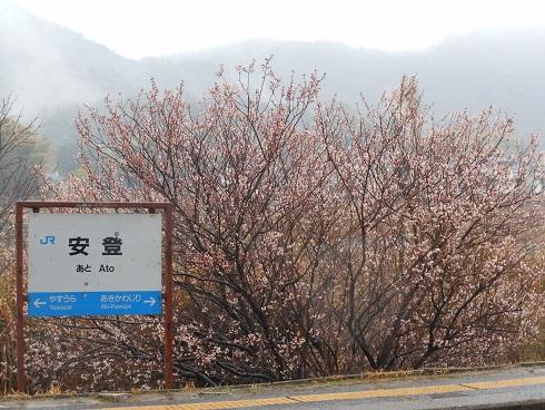 ホームの桜、一部満開_e0175370_8463941.jpg