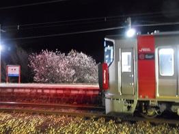 ホームの桜、一部満開_e0175370_8472023.jpg
