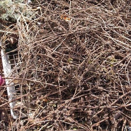 冬越ししたフレーズ・デ・ボアの苗も発芽しています_a0292194_2395257.jpg